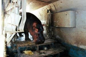 """l'ippopotamo prigioniero del circo. Per la USSL è """"tutto a posto"""""""